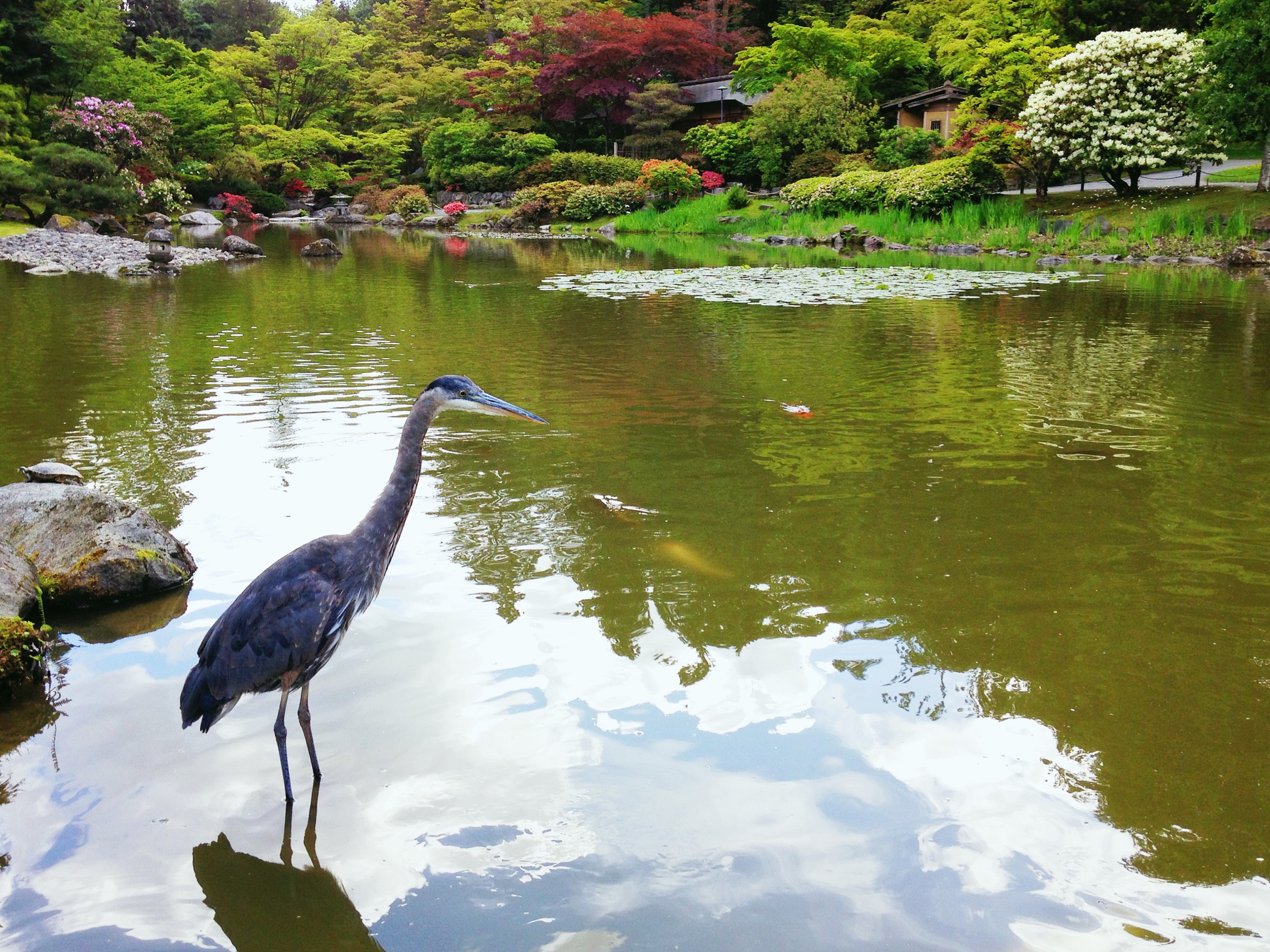 Heron, Seattle Japanese Garden